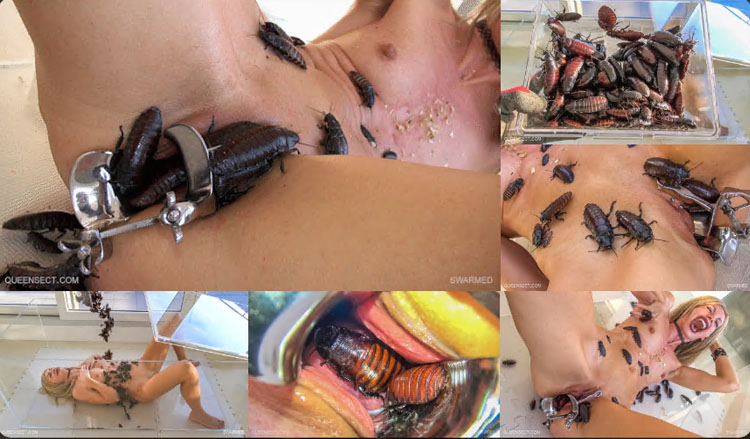 Darkling beetles penis torment