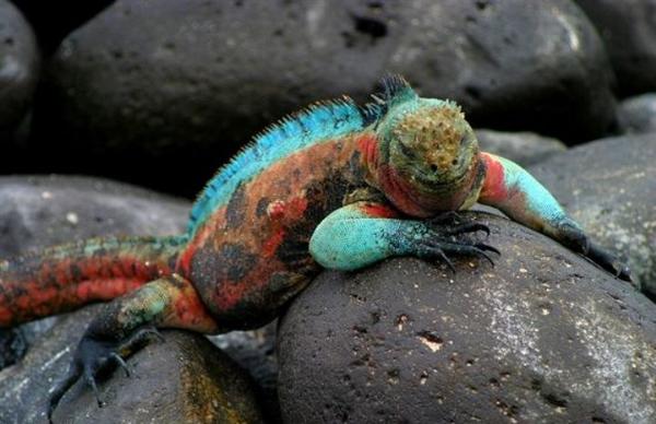 94-GalapagosMarineIguana,