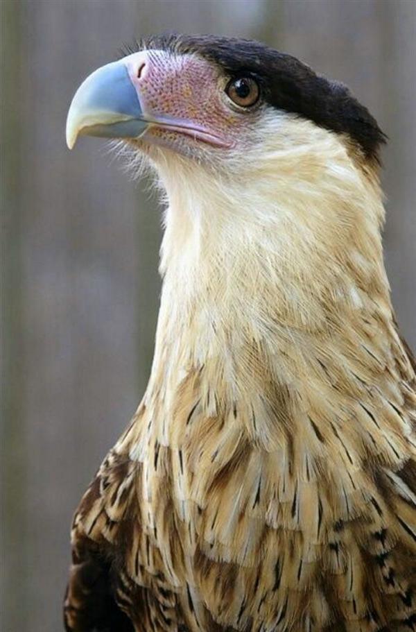 166-CrestedCaracara-Americas,