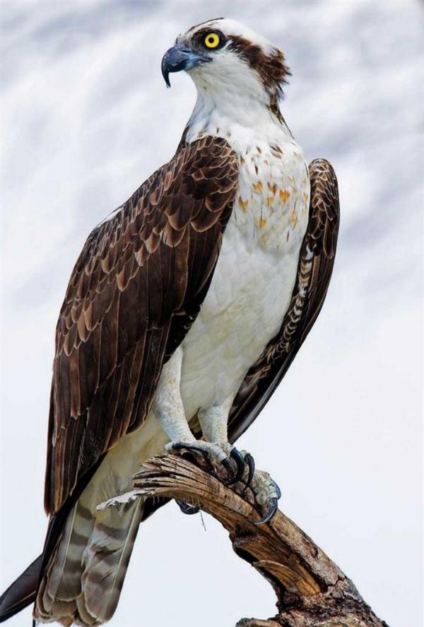 164-Osprey-NAmericaCanada,