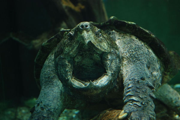 a-AlligatorSnappingTurtle,