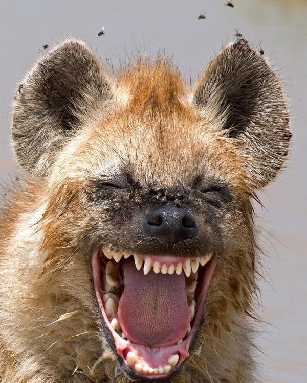 a-Hyena,